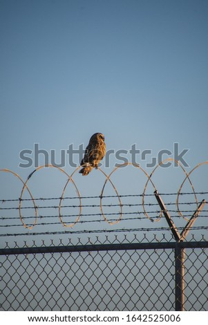 A picture of  Short-eared Owl perching on the fence.  Vancouver BC Canada