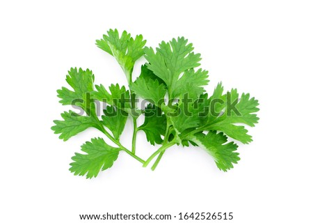Coriander leaf isolated on white background , top view , flat lay. #1642526515