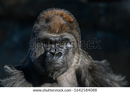 western Lowland Gorilla (Gorilla, gorilla, gorilla) with strong, angry look on face #1642584088