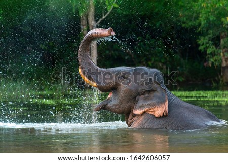 A male Asian elephant is enjoying bathing. Royalty-Free Stock Photo #1642606057