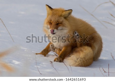 The cute and adorable fluffy Ezo Red Fox sits on the snow at Notsuke Peninsula, Hokkaido , Japan