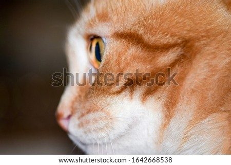 Red ginger cat profile view. Ginger cat eye. Ginger red domestic cat. Red cat FIlya #1642668538