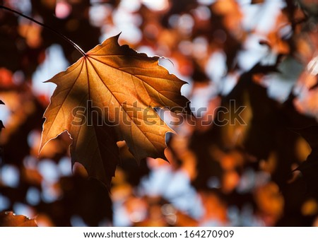Golden autumn maple leaves. Light and shadow. Selective focus and shallow depth of the field. #164270909