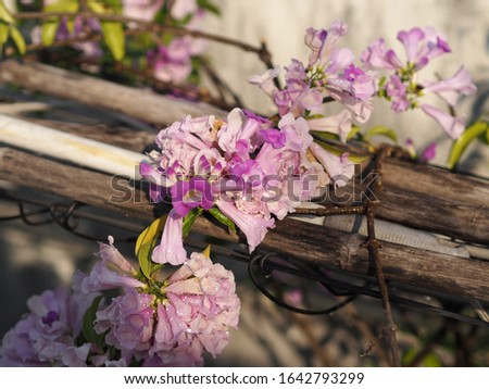 Garlic Vine Plants growing woody climbing vine with beautiful flowers, violet color nature background #1642793299