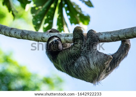 A Three-toed Sloth climbing up a tall tree. Taken in northern Panama