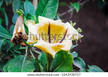 Picture of an open yellow rose