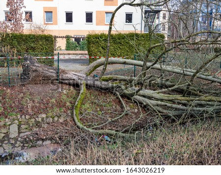 uprooted tree after a storm