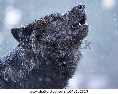 Howling canadian wolf in winter against the background of snowing. #1643152813