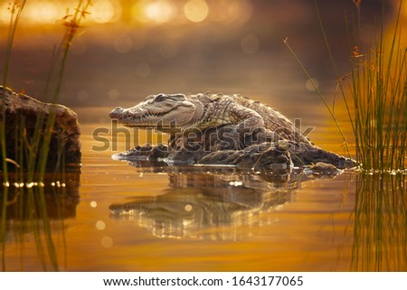 Mugger crocodile (Crocodylus palustris), also called marsh crocodile, broad-snouted crocodile and mugger is a crocodilian native to freshwater habitats from southern Iran to the Indian subcontinent. Royalty-Free Stock Photo #1643177065