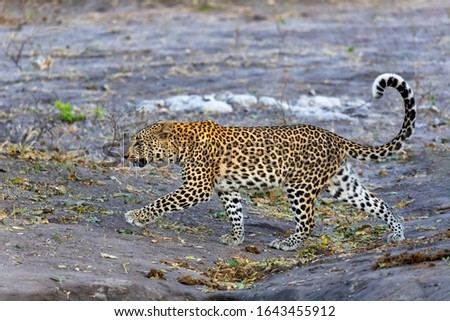 one of most beautiful cat, south african leopard walking on bank of Chobe river, Panthera pardus, Chobe National Park, Botswana, Africa wildlife