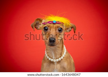 small dog dressed up for brazillian carnaval. dog funny costume