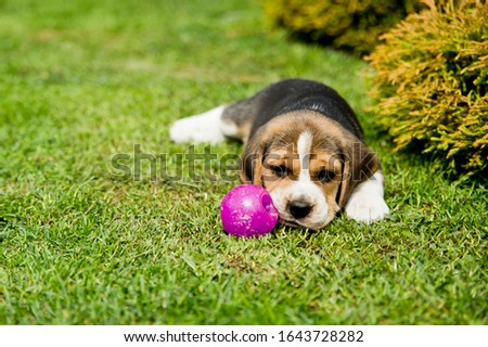 Beagle in the backyard. Puppy in the backyard protects the playball. Pet games on the lawn. #1643728282