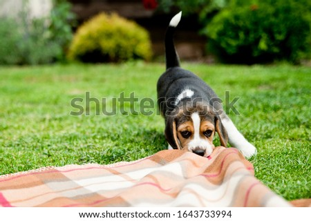 Beagle in the backyard. Puppy in the backyard pulls the rug. Pet games on the lawn. #1643733994