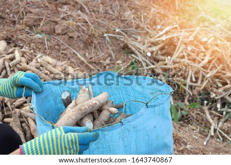 Cassava roots or Tapioca in a bag, farm fresh cassava just picked up and packed in a bag by a farmer, agricultural concept picture of farming concept picture, hands of farmer packing tapioca roots