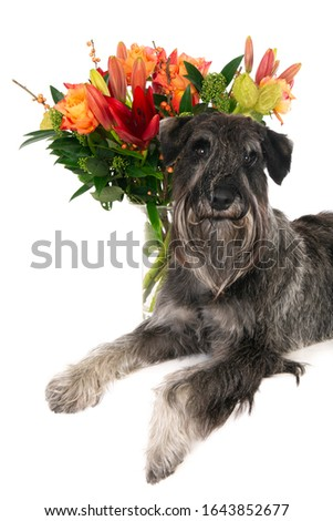 Looking standard Schnauzer dog on white with flowers #1643852677