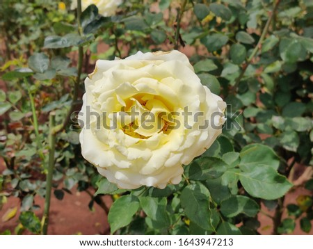 Beautiful Close up picture of Yellow Rose