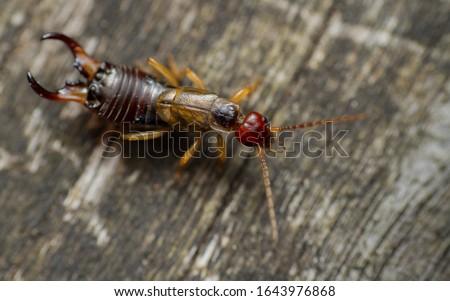Common or European Earwig (Forficula auricularia)