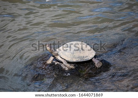 A Serrated Hinged Terrapin (Pelusios sinuatus) basking on a rocky outcrop in a perennial river, in the bushveld. South Africa has only the one species of terrapin. #1644071869
