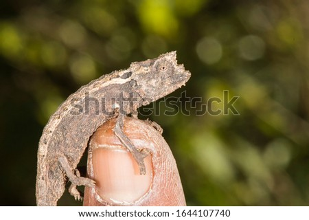 Madagascan dwarf chameleon  or Nosy Be pygmy leaf chameleon or Tiny ground chameleon(Brookesia minima), Madagascar #1644107740
