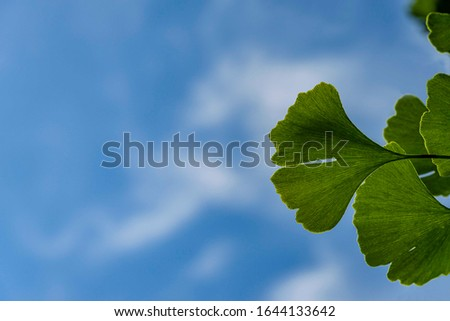 Bright green leaves on branch of ginkgo tree (Ginkgo biloba), known as ginkgo or ginkgo against blue sky with white clouds. Selective focus. Close-up. Calmness and relaxation. There is place for text. #1644133642
