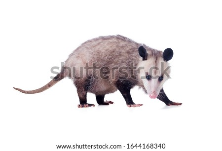 Pregnant  Virginia Opossum Female (Didelphis virginiana) or common opossum—the only marsupial (pouched mammal) found in the United States and Canada. Isolated on white background