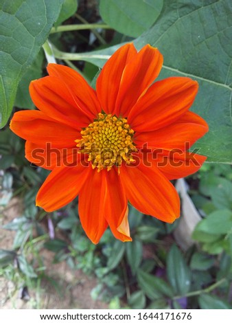beautiful orange flower, relative of the sunflower #1644171676