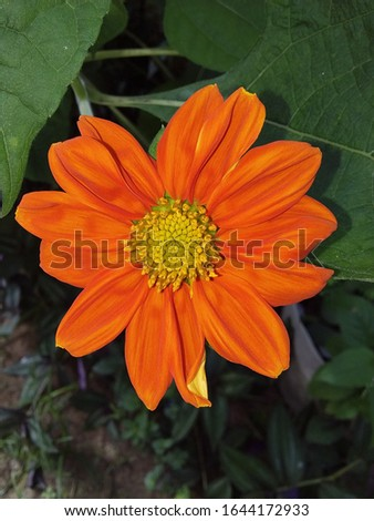 a beautiful orange flower, relative of the sunflower #1644172933