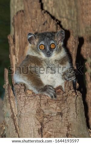 White-footed Sportive Lemur (Lepilemur leucopus) in a tree hole, Berenty, Fort Dauphin, Toliara Province, Madagascar #1644193597