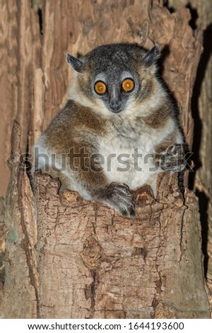 White-footed Sportive Lemur (Lepilemur leucopus) in a tree hole, Berenty, Fort Dauphin, Toliara Province, Madagascar #1644193600