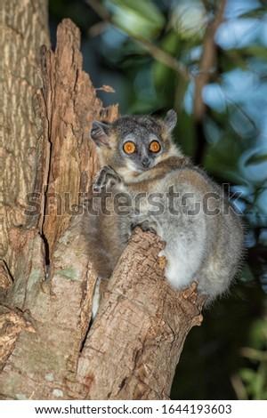 White-footed Sportive Lemur (Lepilemur leucopus) in a tree hole, Berenty, Fort Dauphin, Toliara Province, Madagascar #1644193603