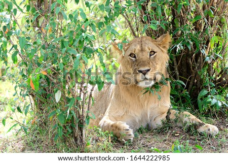 The lion (Panthera leo) is a species in the family Felidae. Young male.