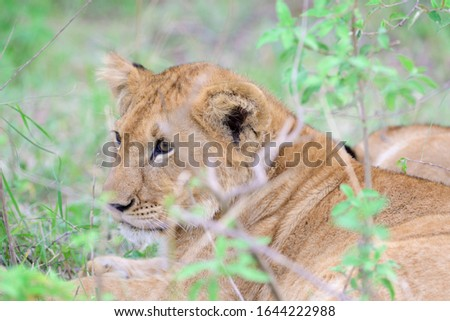 The lion (Panthera leo) is a species in the family Felidae. Juvenile.