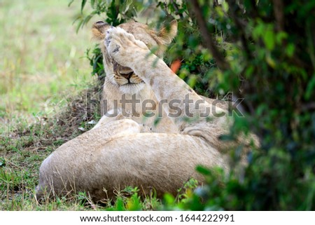 The lion (Panthera leo) is a species in the family Felidae. It seems that she does not want to see the tourists who are photographing her.