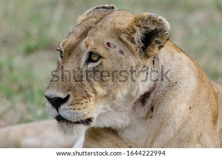 The lion (Panthera leo) is a species in the family Felidae. Female. On the face you can see the marks of the fights.