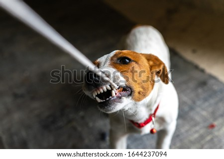 Young Jack russel terrier with necklace plays with a peace of clothing  and showing teeth to the master. Playfull dogs breeds. Macro close up image. #1644237094