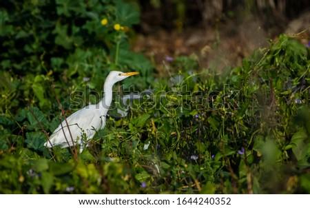 Great egret or common egret, Ardea alba, bird of the Ardeidae family, #1644240352