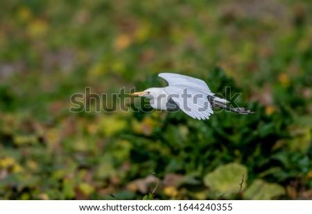 Great egret or common egret, Ardea alba, bird of the Ardeidae family, #1644240355