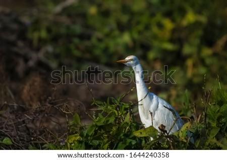 Great egret or common egret, Ardea alba, bird of the Ardeidae family, #1644240358