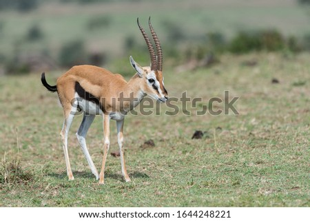 One widely familiar gazelle is the African species Thomson's gazelle (Eudorcas thomsoni)