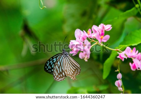 Blue and black Tirumala septentrionis, the dark blue tiger danaid butterfly in Southeast Asia #1644360247