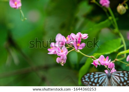 Blue and black Tirumala septentrionis, the dark blue tiger danaid butterfly in Southeast Asia #1644360253