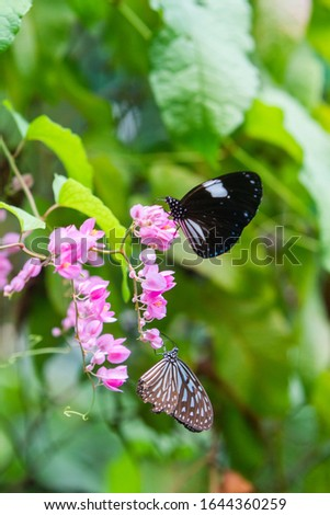 Blue and black Tirumala septentrionis, the dark blue tiger danaid butterfly in Southeast Asia #1644360259