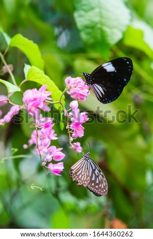 Blue and black Tirumala septentrionis, the dark blue tiger danaid butterfly in Southeast Asia #1644360262