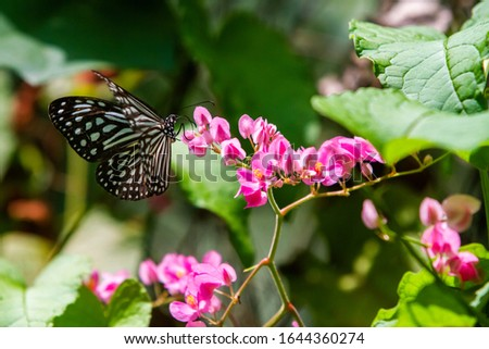 Blue and black Tirumala septentrionis, the dark blue tiger danaid butterfly in Southeast Asia #1644360274