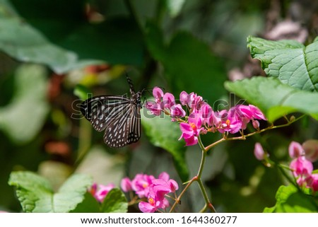 Blue and black Tirumala septentrionis, the dark blue tiger danaid butterfly in Southeast Asia #1644360277