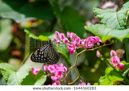 Blue and black Tirumala septentrionis, the dark blue tiger danaid butterfly in Southeast Asia #1644360283