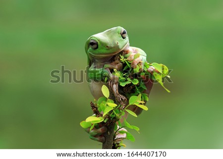 Australian white tree frog on leaves, dumpy frog on branch, animal closeup, amphibian closeup #1644407170