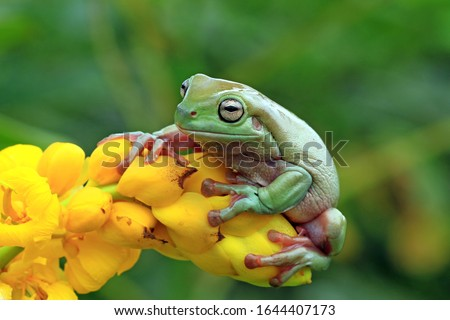 Australian white tree frog on leaves, dumpy frog on branch, animal closeup, amphibian closeup #1644407173
