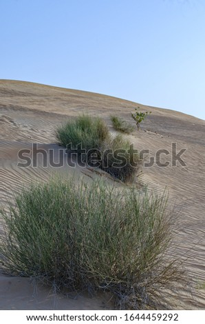 An lonely plant growing on the sand dunes of the dubai desert a luxury tavel inspiration place at the Dubai. Picture taken in 2019.