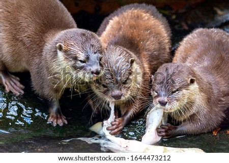 Lontra canadensis - North American Otter, three weasel beasts feeding #1644473212